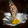 Butterfly on Daisy 1414