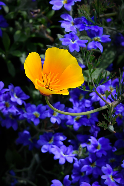 California Poppy and Blue Flowers