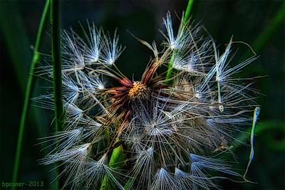 Dandelion death