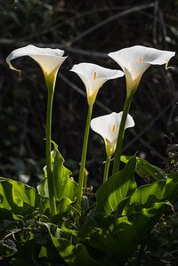 Calla Lilies, Backlit