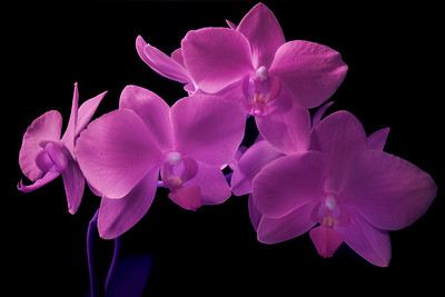Orchid Radiance 2
