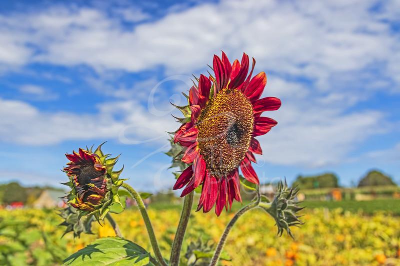 TLD_Red Sunflower_Horizontal
