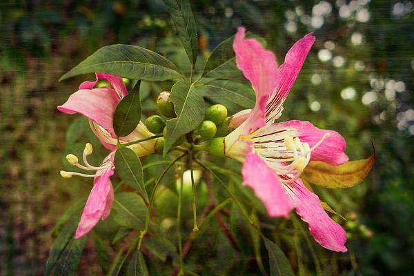 Ceiba Flowers 2