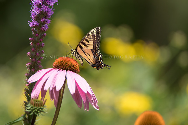 Giant Swallowtail Butterfly on  flower