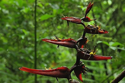 Heliconiaceae