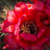 Cactus Flower Petals Of Light