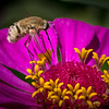 Gray Bee & Zinnia 3458