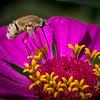 Bee Fly & Zinnia