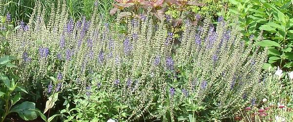 English lavender plant.