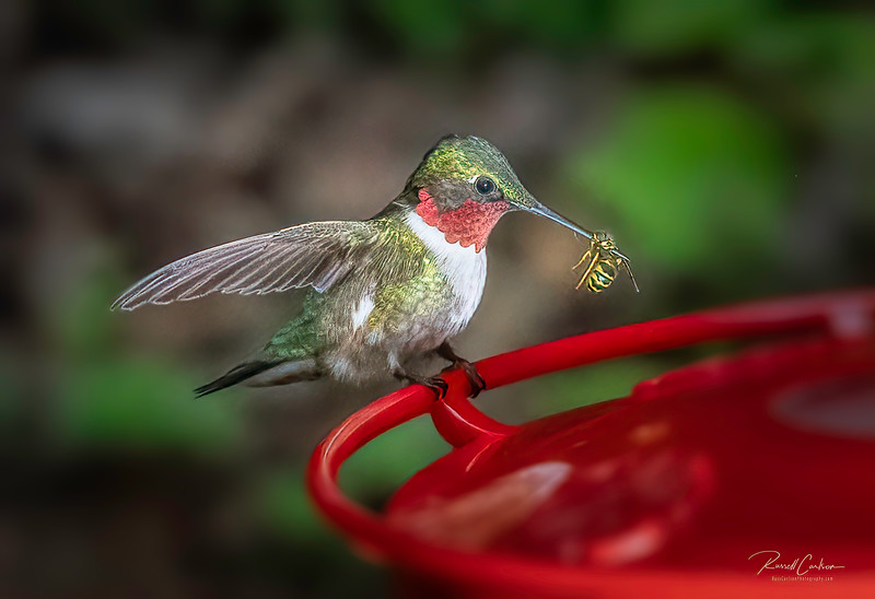 Hummingbird with Bee at Feeder