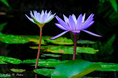 Water lily. V