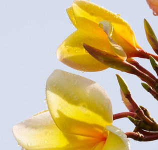 yellow frangipani after rain
