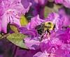 TLD_Bumblebee