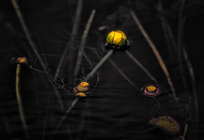 Underwater Lilies