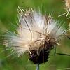 Texas Thistle Seeds