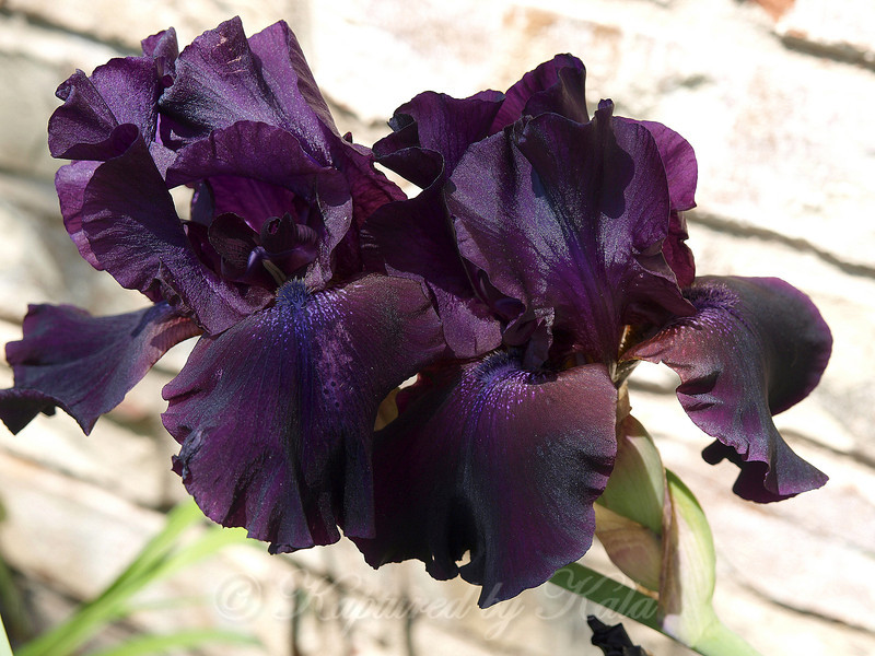 Deep Purple Bearded Iris