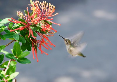 Flower and Hummingbird at Edgefield