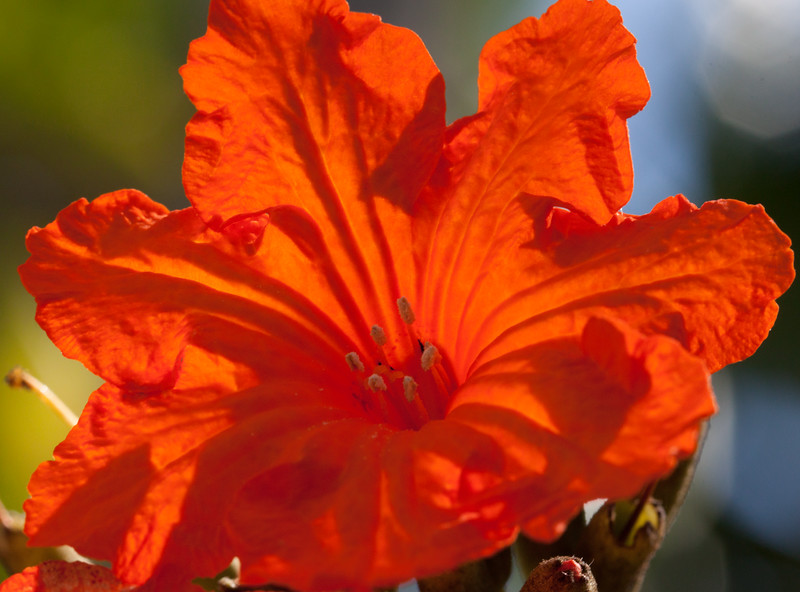 orange geiger (Cordia sebestena)