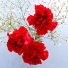 Bright Red Carnations
