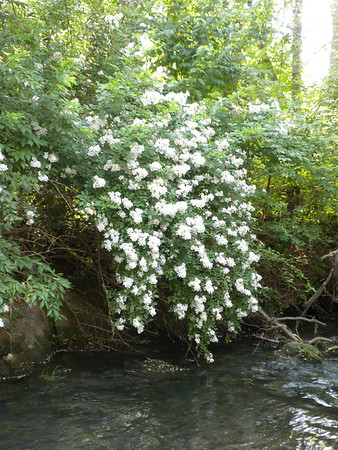 Wild Roses over Lulu's Creek