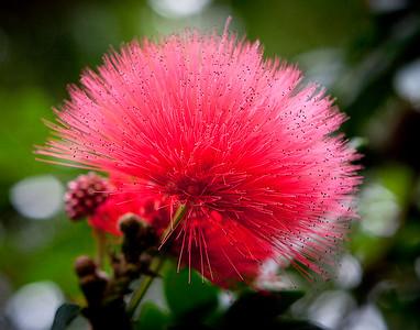 Flower - Red Ball - Longwood Gardens