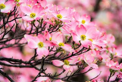 pink blossoms3-4746