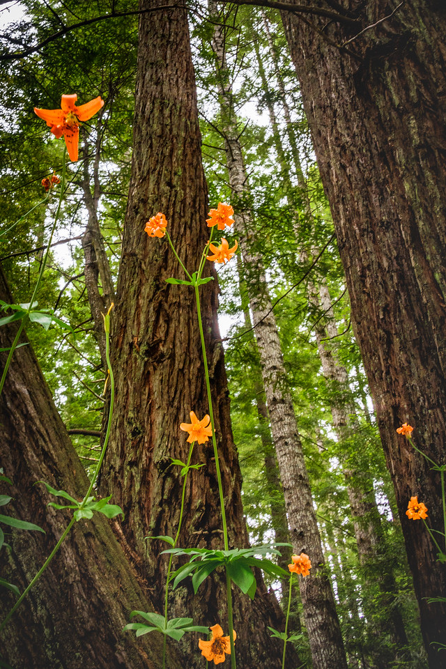Wild Tiger Lilies In Redwood Forest