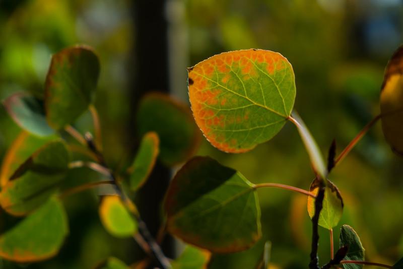 Aspen Leaves 4