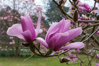 Pink magnolia and cherry blossom.