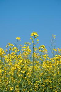 Oilseed rape and blue sky