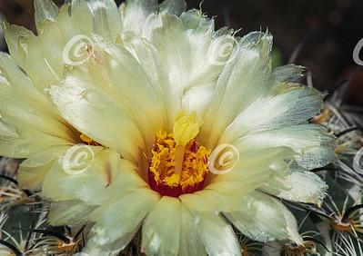 Macro of a Yellow Rhinoceros Coryphantha cornifera Cactus Flower