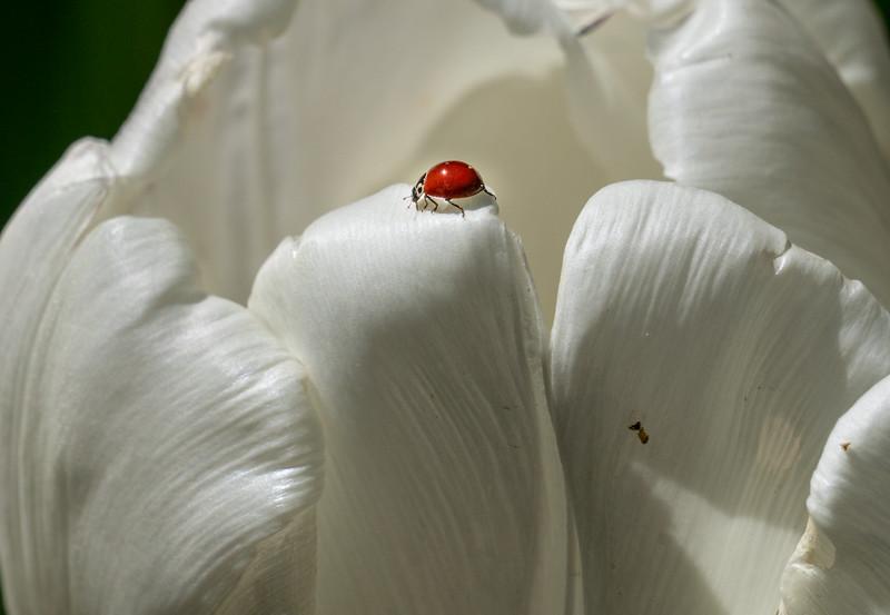 Tulip & Ladybug 9607