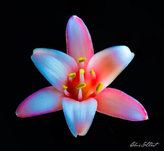 Pink Yucca-1