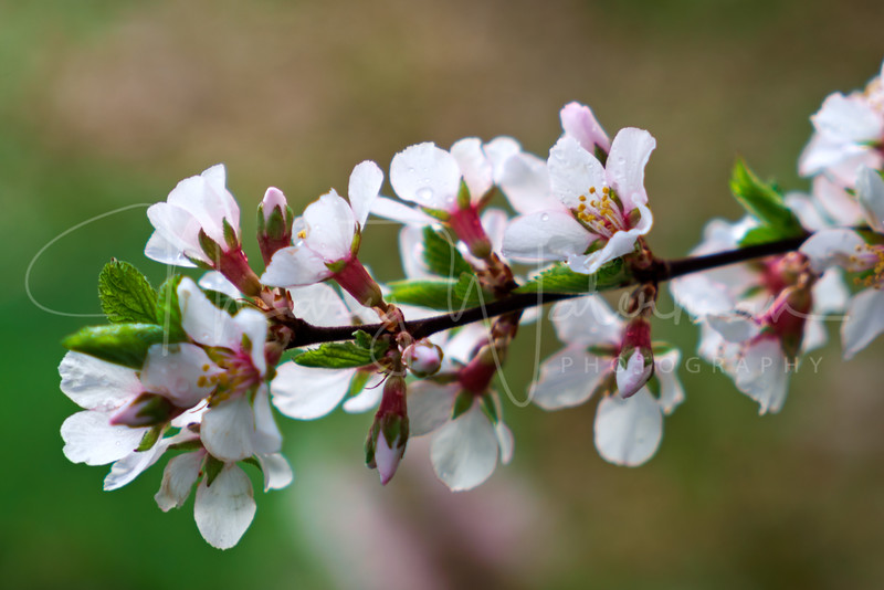 Blossoms with  Dewdrops