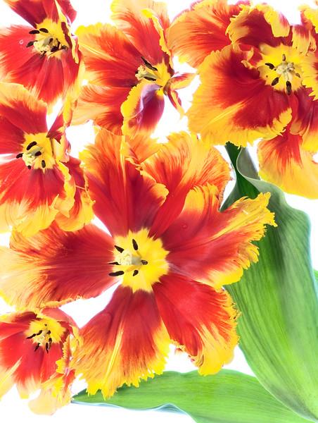 Parrot Tulips # 2