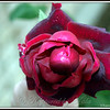 Last Rose of Summer, Prime, Vibrate yet Mystical Beauty
