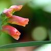 Apricot Gladiolus