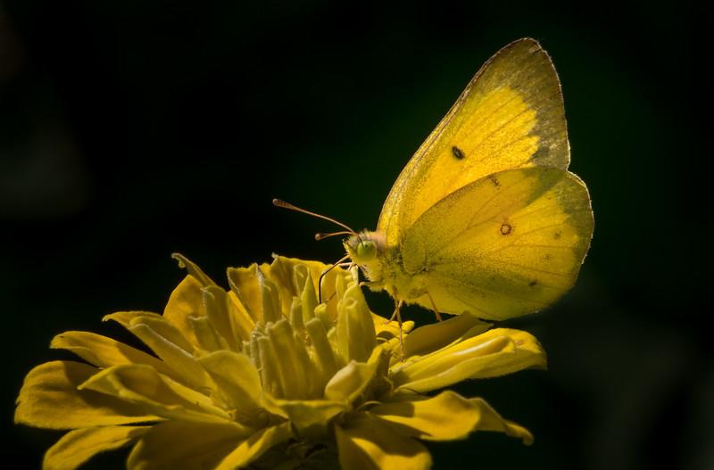 Butterfly on Zinnia 4264