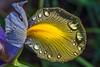 Wet Iris Petals 3