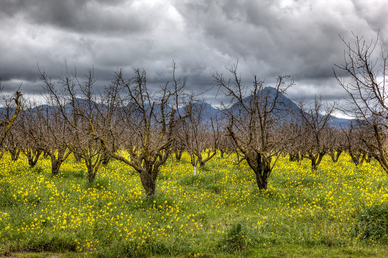 Mustard in Orchard