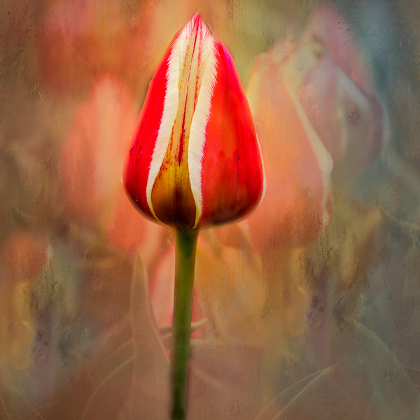 Tulips with Texture
