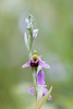 Bee Orchid / Ophrys apifera / Bijenorchis