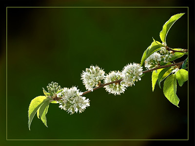 Charming Chokecherry