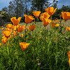 Poppies 6784