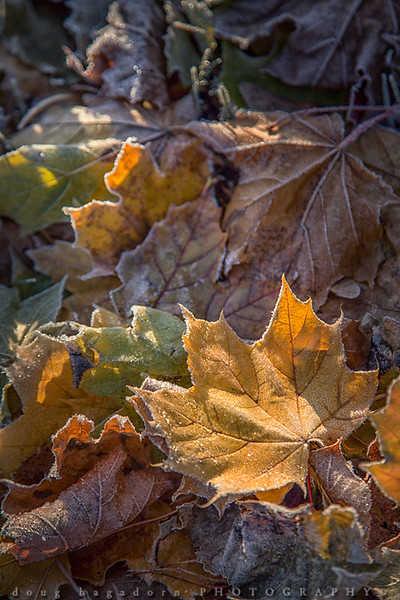 Golden Leaf (#0487)