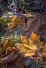 Golden Leaf (#0487)