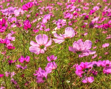 Pink Flower Field 1804