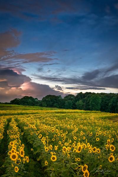 Heat Lightning Over Sunflower Field (1)