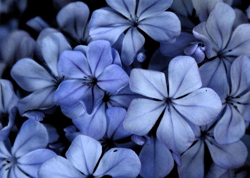 purple posse ...