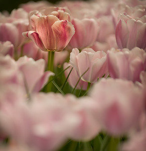 The Tulip Gardens No. 4